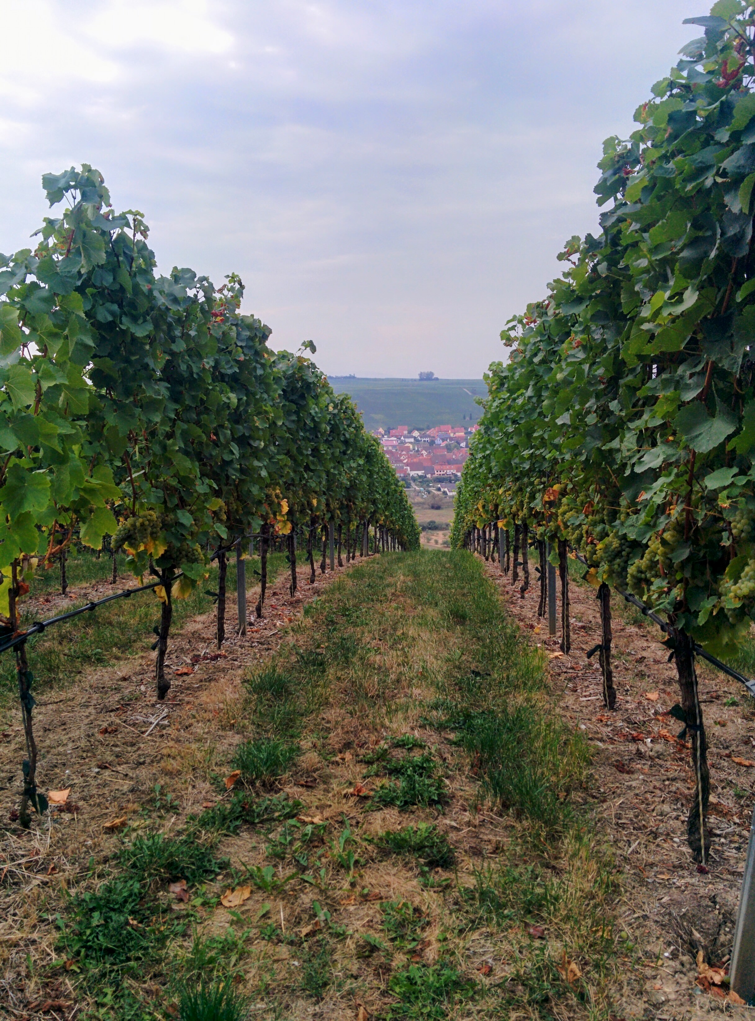 Franconian vineyard. | Missing Germany