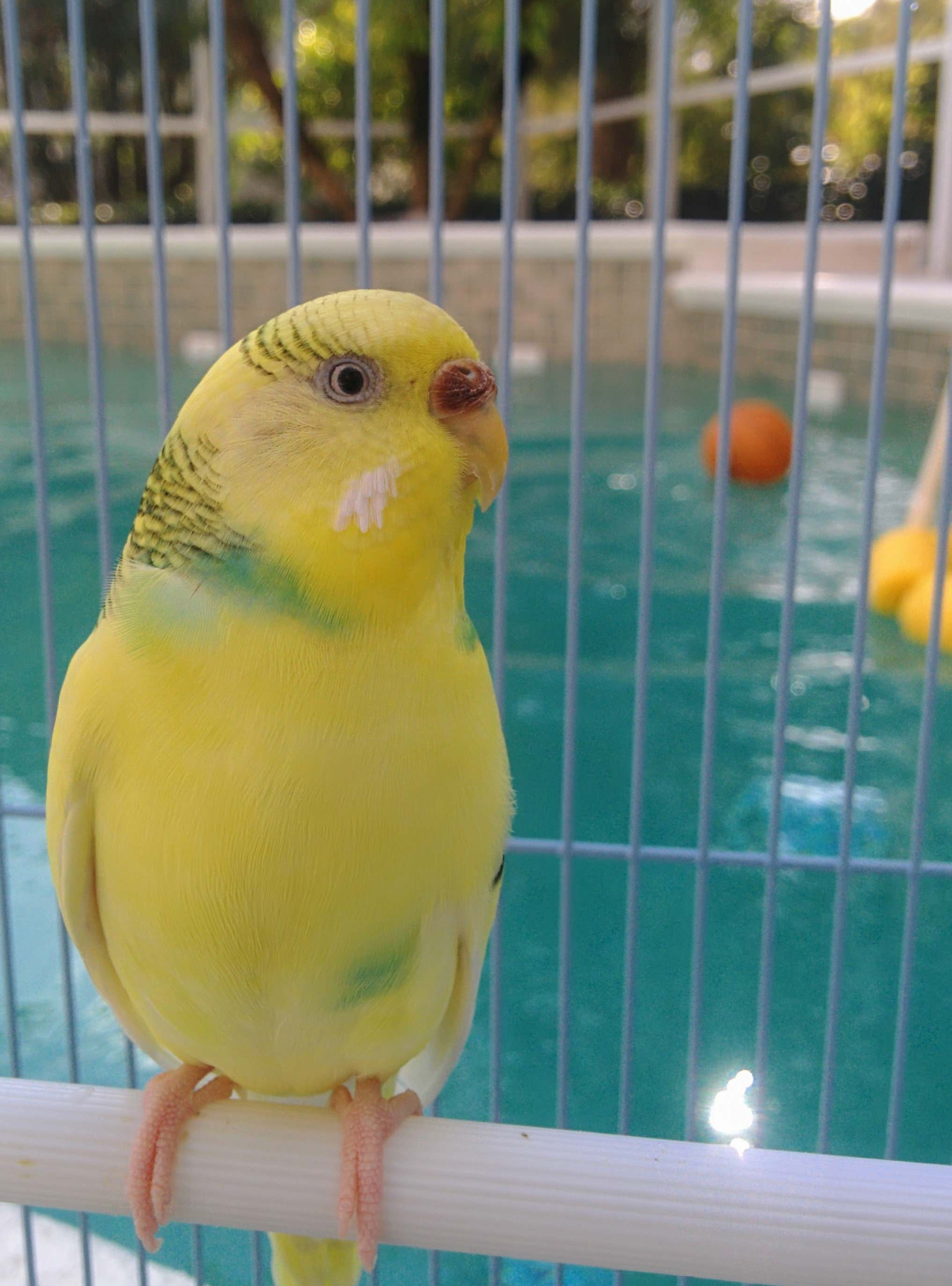 Our pet budgie poolside.