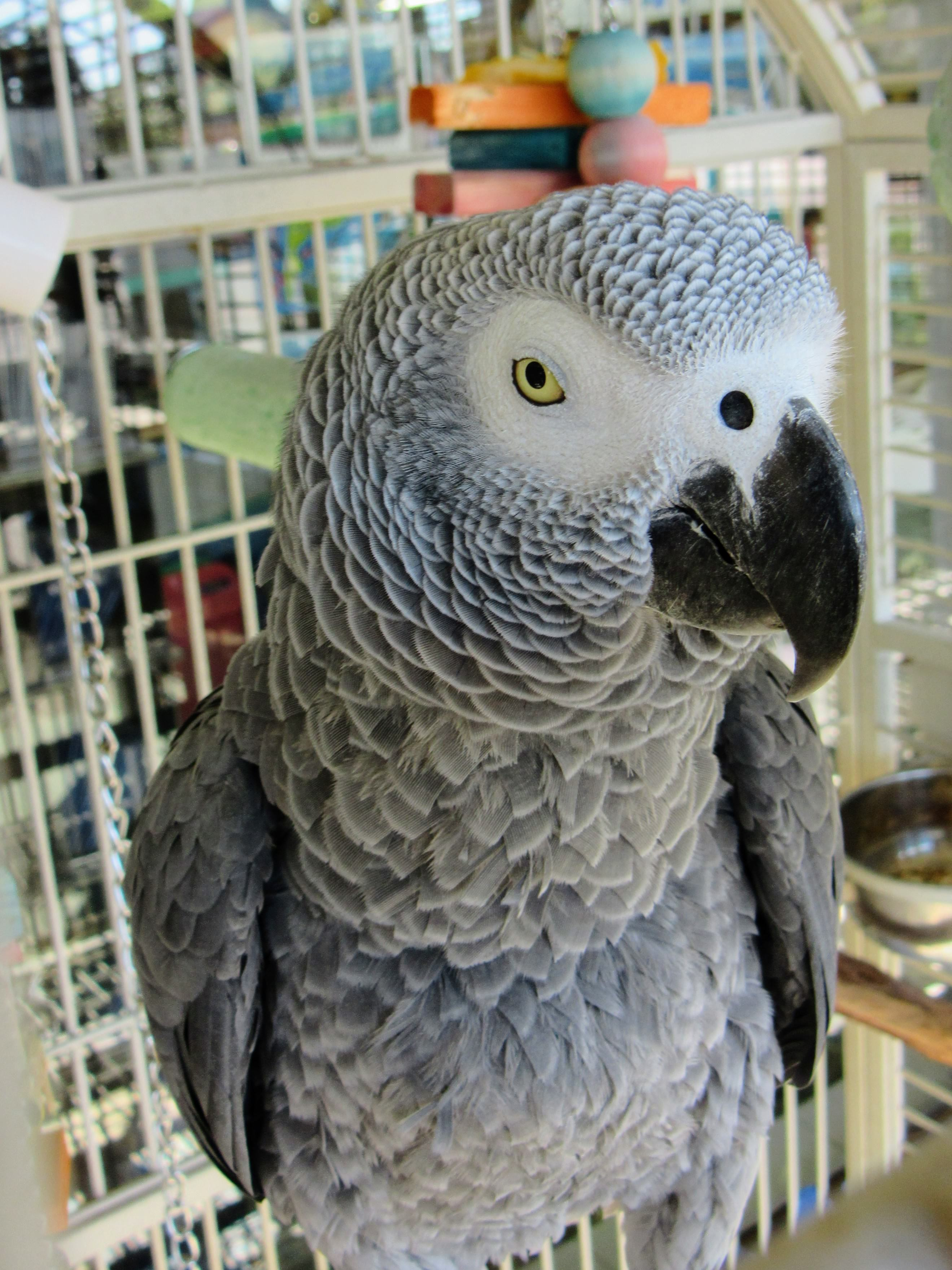 Baily, an African Grey parrot.