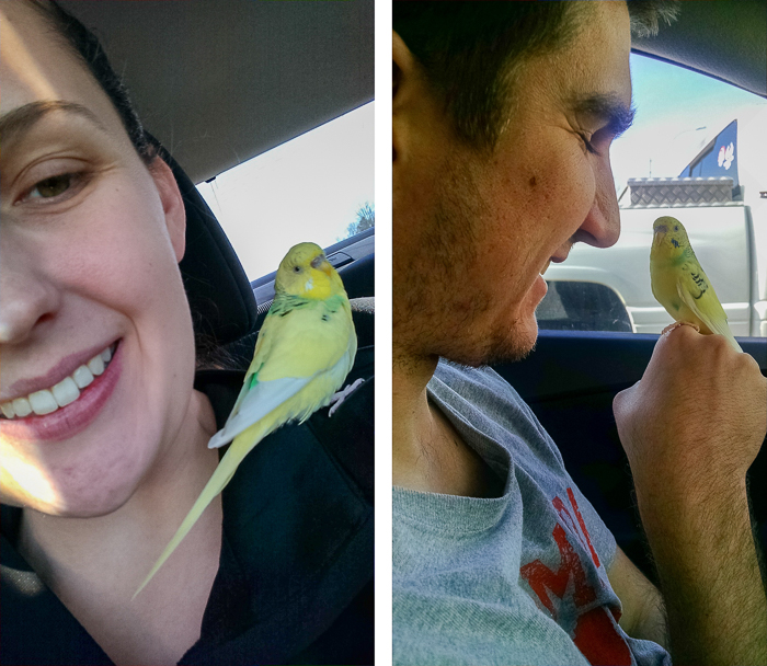 Road trips with Koopa. | Koopa the Traveling Pet Budgie.